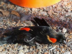 Arkansasbirdsfallskyfishkillblackbi