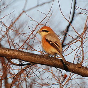 250pxbullheaded_shrike_osaka_3